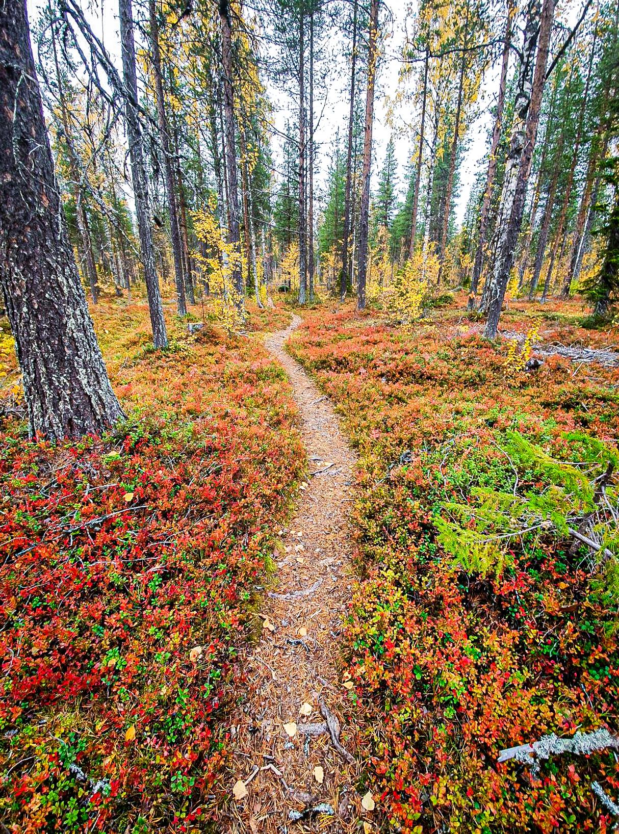 Polku Lapin syksyisessä metsässä.